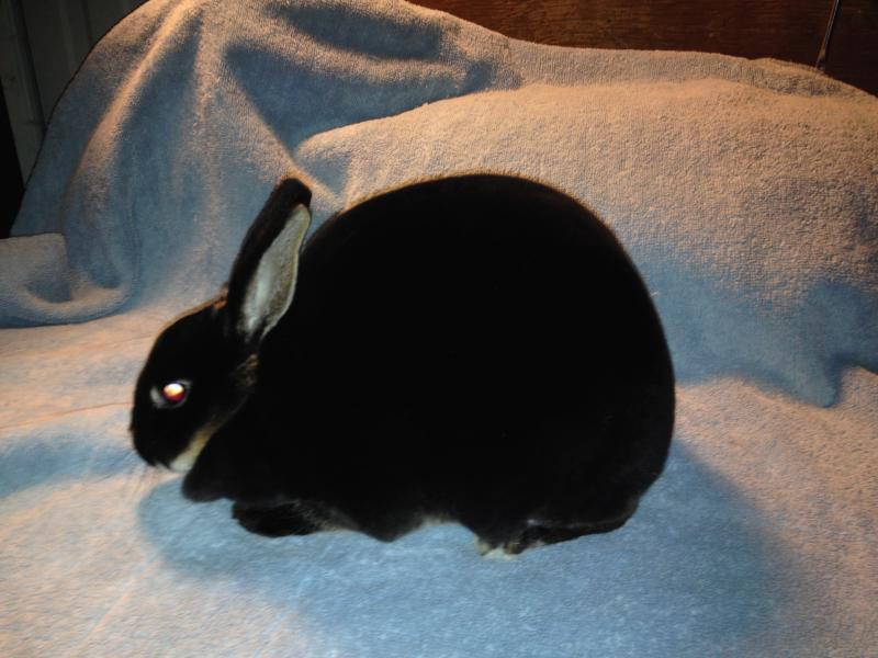 Rose Arbor's Eva Mini Rex doe, otter