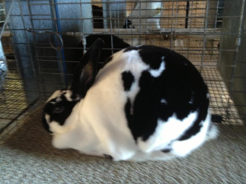Rose Arbor's Anita broken black Mini Rex doe