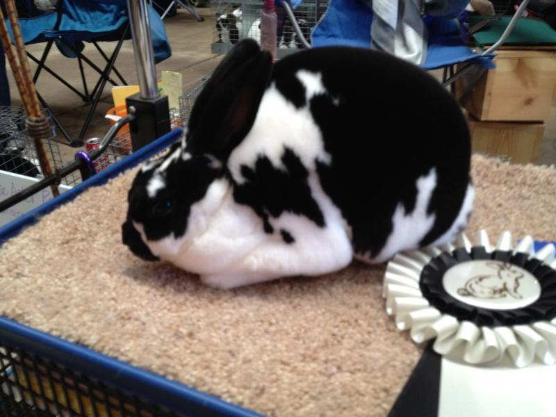 Rose Arbor's Deuce, Best of Breed Mini Rex