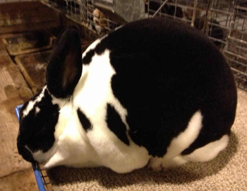 Rose Arbor's Dempsey broken black Mini Rex doe